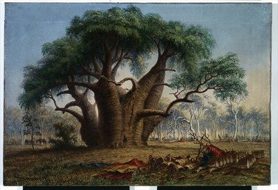 Gouty stem tree, Adansonia Gregorii, 58 feet circumference, near a creek south-east of Stokes Range, Victoria River, 1868 Fine Art Print by Thomas Baines