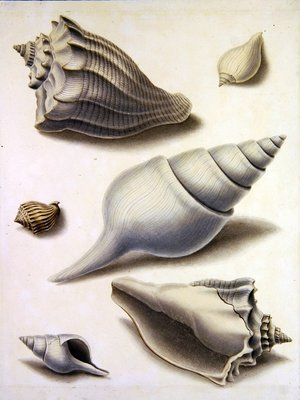 Shells and Marine Flora Wall Art & Canvas Prints by Sydenham Teast Edwards