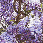 Blue wisteria, 2011, (oil on canvas) Postcards, Greetings Cards, Art Prints, Canvas, Framed Pictures, T-shirts & Wall Art by Ben Henriques