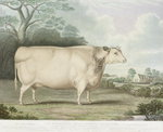 The Habertoft Short Horned Prize Cow, engraved by C. Hunt, 1842 Fine Art Print by English School