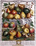 January, from 'Twelve Months of Fruits', by Robert Furber (c.1674-1756) engraved by Gerard Vandergucht (1696-1776) 1732 (colour engraving) Postcards, Greetings Cards, Art Prints, Canvas, Framed Pictures, T-shirts & Wall Art by Pieter Casteels