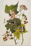 Black And Yellow Warbler. Magnolia Warbler Fine Art Print by Joseph Jacob Plenck