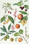 Cherries and other fruit-bearing trees (w/c) Fine Art Print by Joseph Jacob Plenck