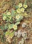 Bank of Primroses and Blackthorn Wall Art & Canvas Prints by William Henry Hunt