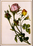 Musk Roses Fine Art Print by James Gillick