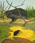 Water Shrew and Hedgehog, 1974 (gouache on paper) Wall Art & Canvas Prints by .