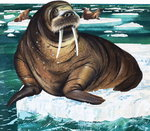 Why Laugh at the Walrus, from 'Wonders of Nature', 1963 (gouache on paper) Wall Art & Canvas Prints by Odile Kidd