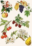 Unidentified montage of fruit and berries Fine Art Print by Joseph Jacob Plenck