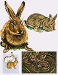 Hares and Rabbits Fine Art Print by English School