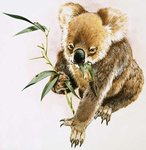 Koala Fine Art Print by Clive Uptton