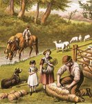 Sheep shearing Fine Art Print by Clive Uptton