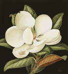 Magnolia Grandiflora, 2003 Fine Art Print by Ruth Addinall