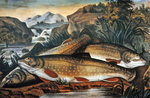 Brook Trout- Just Caught, published by Currier & Ives, c.1870 Fine Art Print by William Beattie Brown