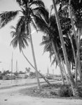 Coconut trees along the docks, Miami, Florida, c.1900-15 (b/w photo) Postcards, Greetings Cards, Art Prints, Canvas, Framed Pictures, T-shirts & Wall Art by English School