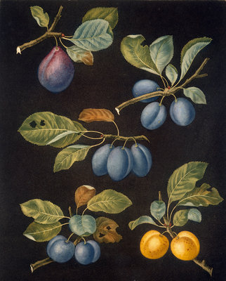 Plums by George Brookshaw - print