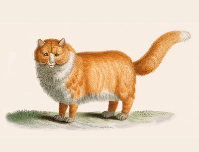 A ginger cat by J B Huet - print