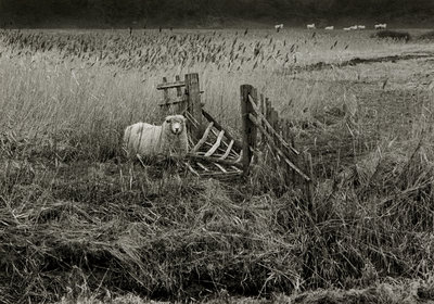 Sheep by Fay Godwin - print
