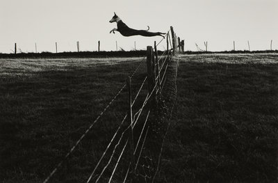 Leaping lurcher by Fay Godwin - print