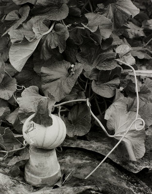 Pumpkin growing in garden by Fay Godwin - print