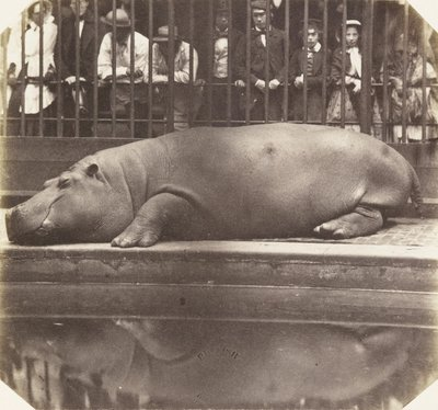 The hippopotamus at the Zoological Gardens by Don Juan Carlos - print