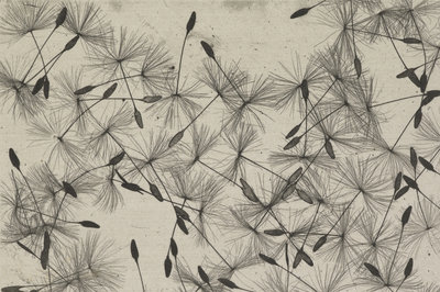Dandelion seeds by William Henry Fox Talbot - print