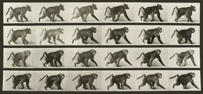 Baboon Walking on all fours by Eadweard Muybridge - print