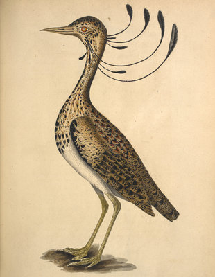 Florican by Anonymous - print