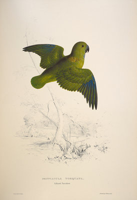 Collared parakeet by Edward Lear - print