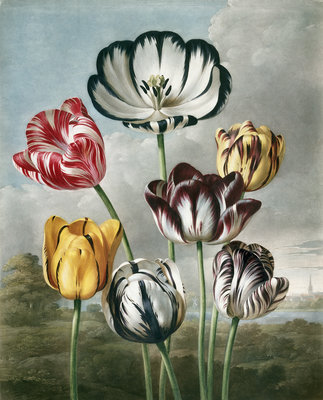 Tulips - The Temple of Flora by Robert John Thornton - print