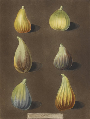 Figs by George Brookshaw - print
