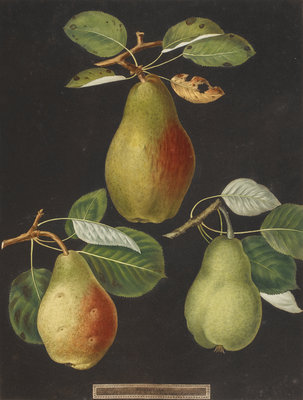Pears by George Brookshaw - print
