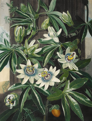 Passion Flower - The Temple of Flora by Robert John Thornton - print