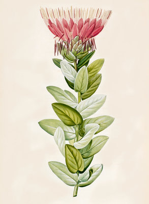 Protea (Sugar bush) by Aime Bonpland - print