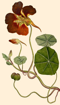 Tropaelum (Nasturtium or Indian cress) by Anonymous - print