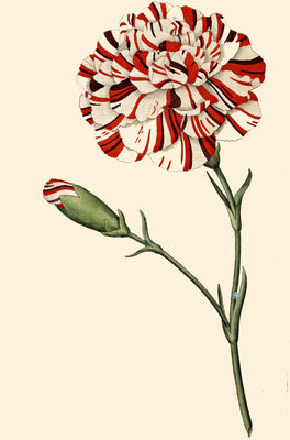 Dianthus (Pinks and carnations) by Anonymous - print