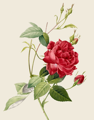 Rose by Pierre Joseph Redoute - print