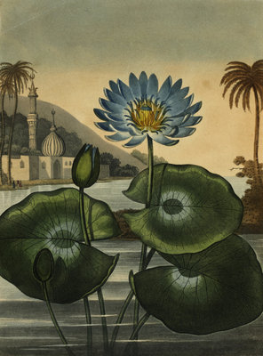 Blue lotus by Stadler - print