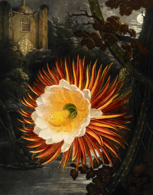 Selenicereus (Night-flowering cactus) by Robert John Thornton - print