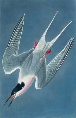 Roseate tern by John James Audubon - print