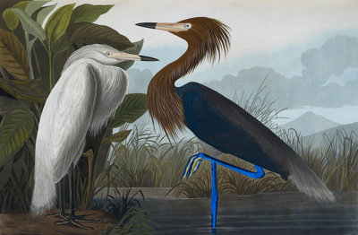 Audubon's Purple herons (Ardeo refescens) by John James Audubon - print