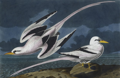 Tropic birds by John James Audubon - print