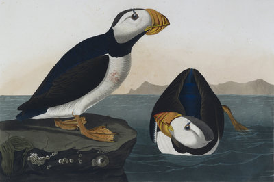 Puffins by John James Audubon - print