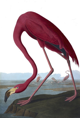 Flamingo by John James Audubon - print