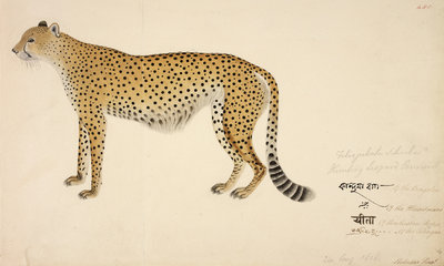 Asian Cheetah Poster Art Print by Haludar