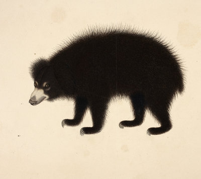 Sloth Bear by Haludar - print