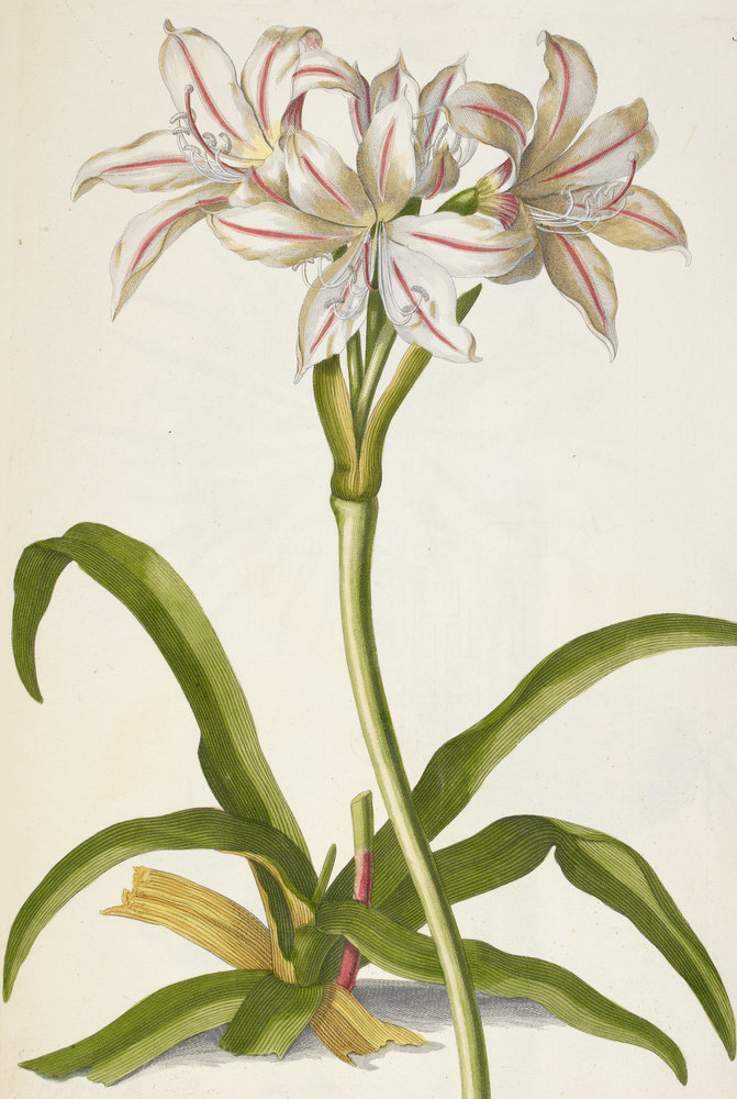 amaryllis belladonna lily by j e haid british library prints. Black Bedroom Furniture Sets. Home Design Ideas