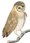 Owl by John James Audubon - print