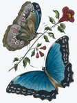 Azure blue butterfly by Anonymous - print