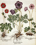 Anemone by Mark Catesby - print