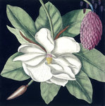 Magnolia by Anonymous - print
